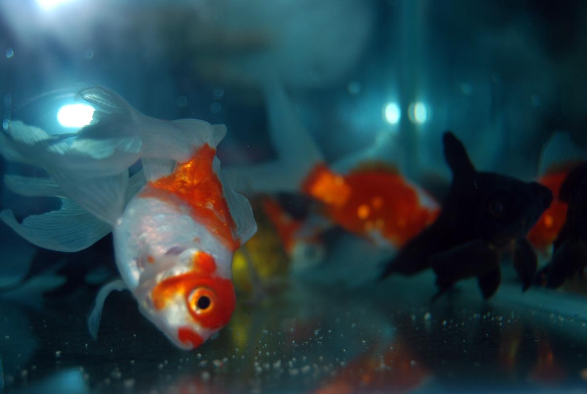 peces ornamentales potencial poco explorado en el pa s