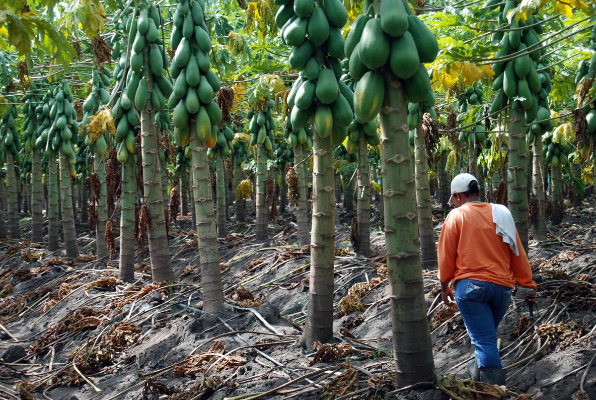 Con rboles frutales ense an agricultura a ni os araucanos for Cuando se podan los arboles frutales