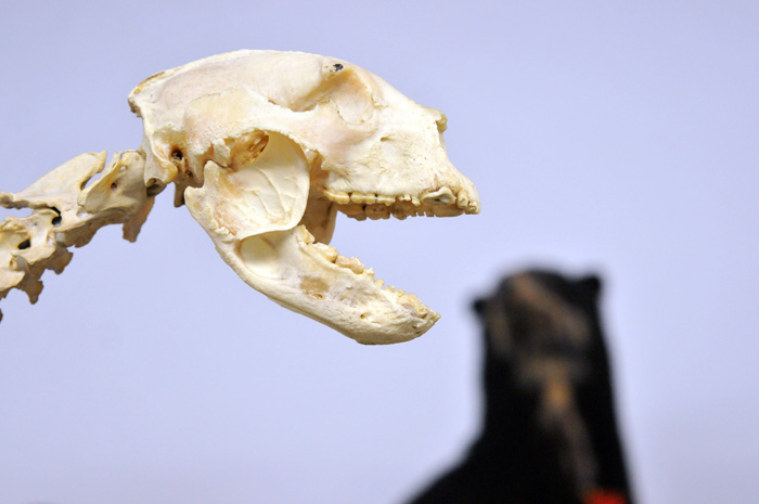 Identifican características anatómicas del oso de anteojos ...